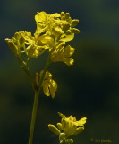 Hedge Mustard (?)   - (2 views)