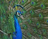 Peacock Right Oblique