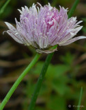 Allium sp. - onion