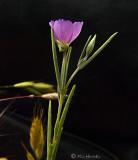 Un ID  tiny:  Lavender