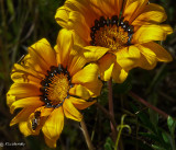 Gazania, Treasure Flower  (Gazania sp)