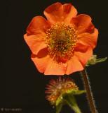 Unidentified small orange flower
