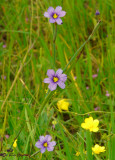 Blue-Eyed Grass (& Calif. Buttercups)