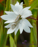 Woodland Star  with butterfly/moth