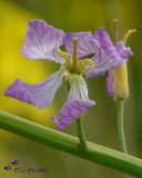 Wild Radish (Raphanus sativa)