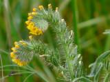 Fiddleneck (Amsinckia menziesii)