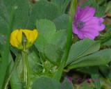Bur Clover & Cutleaf Geranium