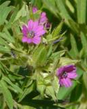 Cutleaf Geranium (Geranium dissectum)