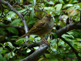 Sparrow, Golden-crowned Sparrow