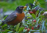 Robin, American Robin