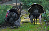 Wild Turkeys Strutting their Stuff
