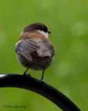 Chickadee - Chestnut-backed Chickadee