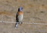 Bluebird - Western Bluebird