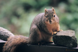 Fox Squirrel-female