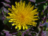 Un-ID yellow daisy type