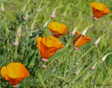 California Poppies (Eschscholzia Californica) (3 images)