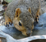 Fox Squirrel at the watering hole