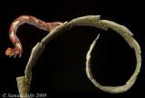 Cyclophora pendulinaria (Sweetfern Geometer)