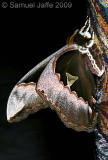 Rothschildia orizaba orizaba Profile