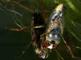 Notonecta irrorata - backswimmer