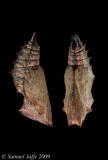 Nymphalis antiopa - Mourning Cloak Chrysalis