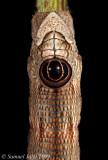 Sphecodina abbottii - Abbott's Sphinx