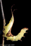 Furcula borealis - White Furcula