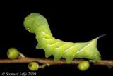 Dolba hyloeus - Pawpaw Sphinx