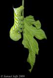 Manduca Hornworm  - Tomato Leaf