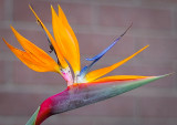 bird of paradise at Manhattan Beach