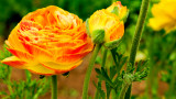 ranunculus asiatic