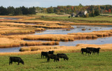 Cattle and Marshland