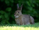Ivan's Bunny
