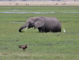 African Bush Elephant and Tawny Eagle