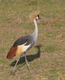 Gray Crowned-Crane