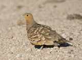 Chestnut-bellied Sandgrouse