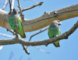 Meyer's Parrot