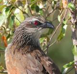 Cuckoos, Anis