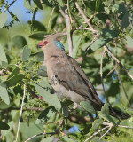 Blue-naped Mousebird