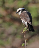 White-rumped Shrike