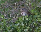 Fox Sparrow (Slate-colored)?