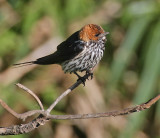 Lesser Striped-Swallow