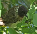 Common Bulbul (Dark-capped)