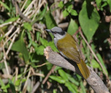 Gray-capped Warbler