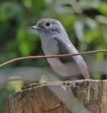 White-eyed Slaty-Flycatcher