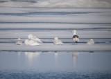 Slaty-backed Gull & Glaucous Gulls