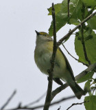 White-eyed Vireo, northern form