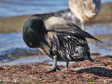 oiled Greater Scaup