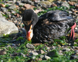 oiled Surf Scoter