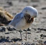 oiled Ring-billed Gull